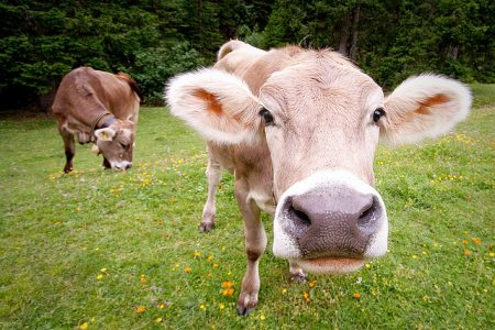 Why we eat cows (and sometimes horses), but not dogs